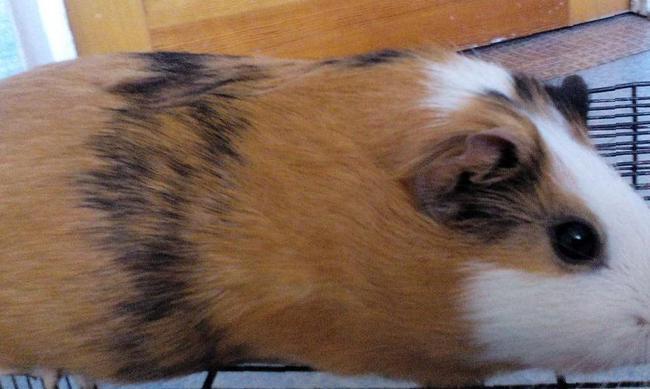 Морские свинки барнаул